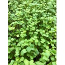 Roquette Microgreens 40g